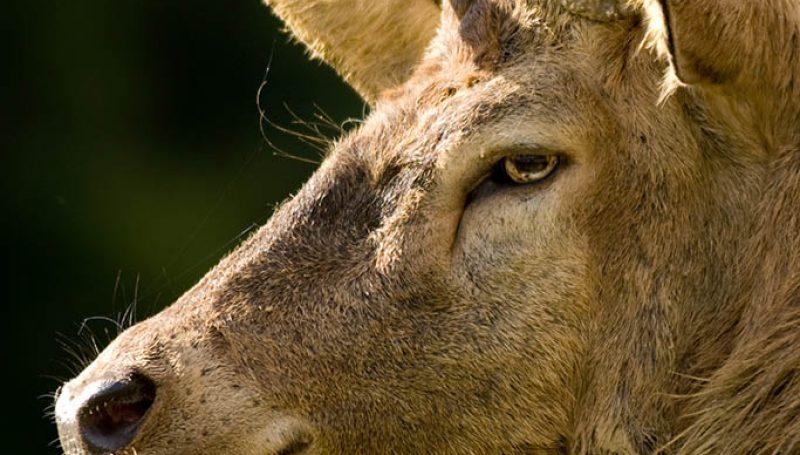 close-up on a deer